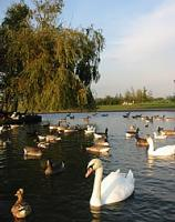 Swans, geese and ducks on Chasewater