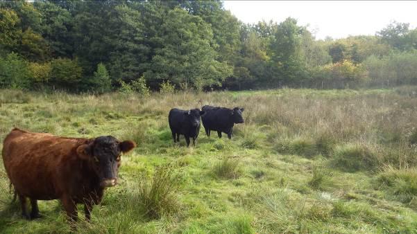 Cows Logo